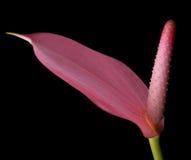 Anturio dentellare - fiore di fenicottero immagine stock