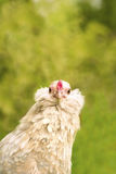 Antwerp hen staring. Straight into the camera Royalty Free Stock Images