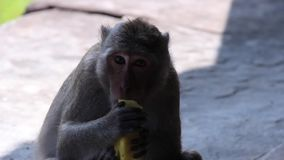 Antyczna świątynia (Angkor) - ECU małpa je mango przy świątynią -1 zdjęcie wideo