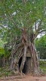 Antyczna brama Angkor Wat świątynia doganiająca dusiciel figi drzewem fotografia royalty free