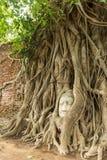Antyczna Buddha głowa w Bo drzewie jeden światowe dziedzictwo ja (Ficus religiosa) fotografia stock