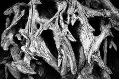 Antyczni dębów korzenie obraz royalty free