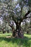 antyczni drzewa oliwne Obraz Stock