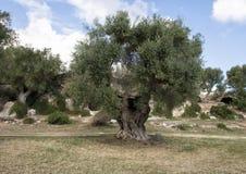Antyczni drzewa oliwne, Lama d ` Antico Fotografia Stock