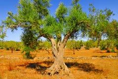 Antyczni drzewa oliwne Salento, Apulia, południowy Włochy obrazy royalty free