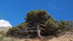 Antyczni drzewa w górach zbiory