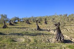 Antyczny Andalucian oliwny gaj pod niebieskim niebem zdjęcie stock
