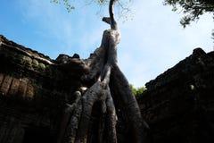 Antyczny budynek splataj?cy korzeniami ogromny drzewo Obdrapany budynek Khmer imperium Ruiny antyczne cywilizacje fotografia royalty free