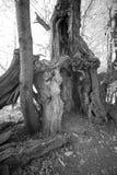 Antyczny cisawy drzewo w czarny i biały Obrazy Stock