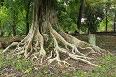 Antyczny drzewo Fotografia Royalty Free