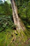 Antyczny drzewo Zdjęcia Royalty Free