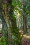 Antyczny drzewo Zdjęcia Stock