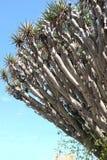 Antyczny drzewo Obraz Royalty Free