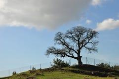 Antyczny drzewo Obrazy Stock