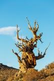Antyczny drzewo obrazy royalty free