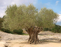 antyczny drzewo oliwne Obraz Royalty Free