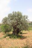 antyczny drzewo oliwne Obrazy Stock