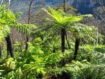 Antyczny jaskrawy - zielony drzewnej paproci dorośnięcie w tropikalnym lesie deszczowym Obraz Stock