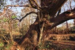 Antyczny Magiczny Dębowy drzewo Zdjęcie Royalty Free