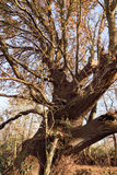 Antyczny Magiczny Dębowy drzewo Obraz Stock