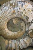 antyczny skamieniały amonit Zdjęcia Royalty Free