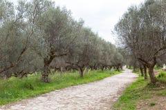 Antyczny sposób przez oliwnego gaju, Sparta, Grecja, Europa obraz stock