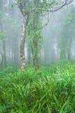 Antyczny tropikalny las w florze, mech, liszaju i paproci w mgły Świeżych przedpolach i drzewach Czystość, fantastyczna, bujny zdjęcie stock