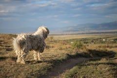 ANTYCZNY WĘGIERSKI SHEEPDOG - KOMONDOR Zdjęcia Stock