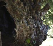 antyczny yew Zdjęcie Royalty Free