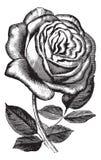 Antykwarskiego rocznika różany ilustracyjny wektorowy clipart royalty ilustracja
