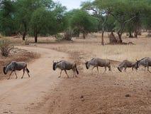Antylop wildebees na safari w Tarangiri-Ngorongoro obraz stock