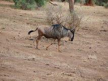 Antylop wildebees na safari w Tarangiri-Ngorongoro fotografia stock