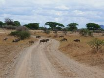 Antylopa gnu w Afryka safari Tarangiri-Ngorongoro Zdjęcie Stock