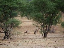 Antylopa gnu w Afryka safari Tarangiri-Ngorongoro Obrazy Royalty Free