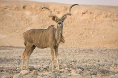 antylopa kudu Obrazy Royalty Free