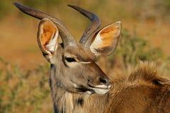 antylopa kudu Zdjęcia Royalty Free