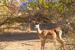 Antylopa od Południowa Afryka, Pilanesberg park narodowy africa Zdjęcia Stock