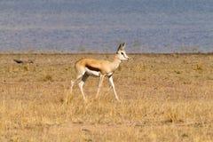 Antylopa od Południowa Afryka, Pilanesberg park narodowy africa Obrazy Royalty Free