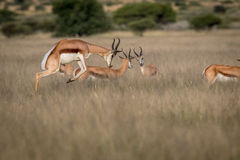 Antylopa pronking w Środkowym Kalahari fotografia stock