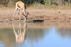 Antylopa - przyroda od Afryka - kolor i odbicie od Macierzystej ziemi Obrazy Stock