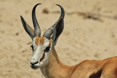 Antylopa - przyrody tło od Afryka - Eleganccy rogi od natury Obrazy Stock