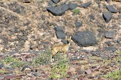 Antylopa, Rybi Rzeczny jar - Namibia, Afryka Obraz Stock