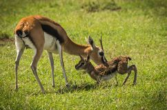 Antylopa Thompson i jej nowonarodzony dziecko w Masai Mara, Kenja zdjęcia stock