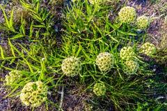 Antylopa Uzbrajać w rogi trojeści Wildflower (Asclepias asperula) obrazy stock