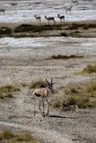 Antylopa w Namibia Fotografia Royalty Free