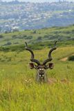 Antylopa w safari parku w Południowa Afryka Zdjęcia Stock