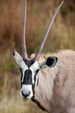 antylopy afrykański gemsbok Obrazy Royalty Free