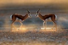 Antylopy antylopa, Antidorcas marsupialis w Afrykańskim suchym siedlisku, Etocha NP, Namibia Ssak od Afryka Antylopa wewnątrz zdjęcia royalty free