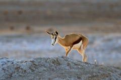 Antylopy antylopa, Antidorcas marsupialis w Afrykańskim suchym siedlisku, Etocha NP, Namibia Ssak od Afryka Antylopa wewnątrz zdjęcie stock