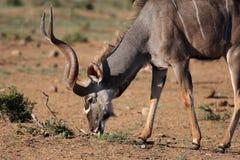 antylopy łasowania kudu samiec Obraz Royalty Free